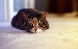 Desktop Wallpaper: Brown tabby cat