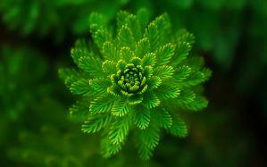 Desktop Wallpaper: Green multi petal fl...