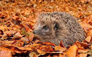 Desktop Wallpaper: Brown hedgehog