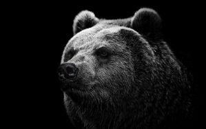 Desktop Wallpaper: Grey and black bear
