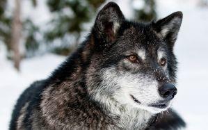 Desktop Wallpaper: Black and white wolf