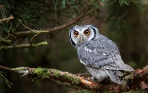 Desktop Wallpaper: Gray and white owl