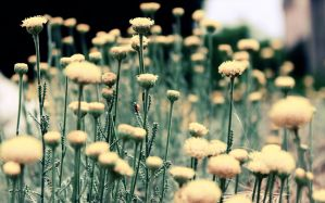 Desktop Wallpaper: Dandelion flowers