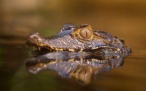 Desktop Wallpaper: Brown aligator