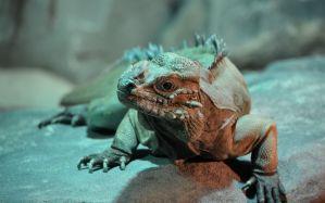 Desktop Wallpaper: Brown iguana