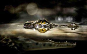 Desktop Wallpaper: Crocodile eye