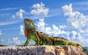 Desktop Wallpaper: Green and brown igua...