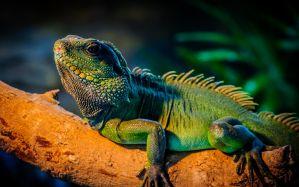 Desktop Wallpaper: Green iguana