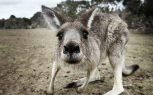 Desktop Wallpaper: Gray and white kanga...