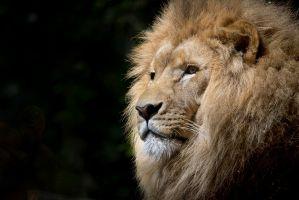Desktop Wallpaper: Lion