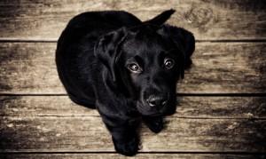 Desktop Wallpaper: Black labrador retri...