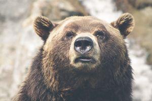 Desktop Wallpaper: Brown grizzly