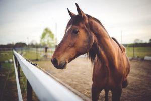 Desktop Wallpaper: Brown horse