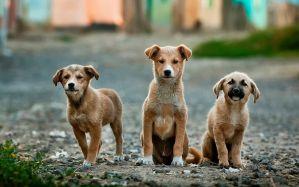 Desktop Wallpaper: Tan dingo dog