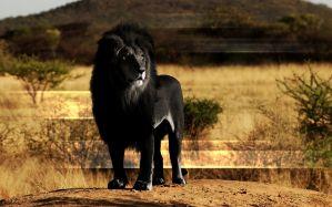 Desktop Wallpaper: Black lion illustrat...