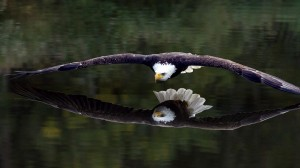 Desktop Wallpaper: Bald eagle