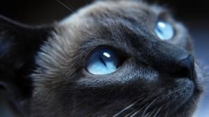 Desktop Wallpaper: Bombay cat