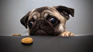 Desktop Wallpaper: Fawn pug