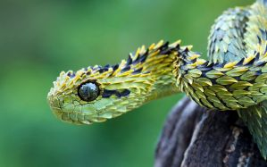 Desktop Wallpaper: Green snake
