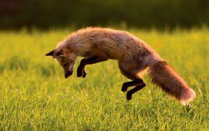 Desktop Wallpaper: Brown and black fox