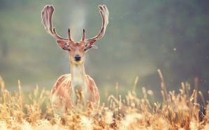 Desktop Wallpaper: Brown deer