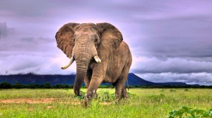 Desktop Wallpaper: Brown elephant anima...
