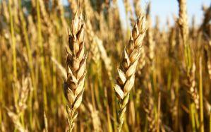 Desktop Wallpaper: Brown wheat