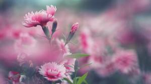 Desktop Wallpaper: Pink flowers