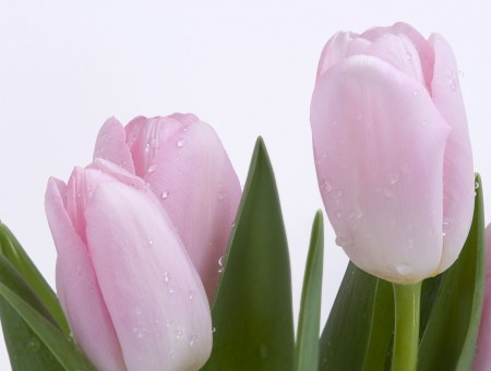 Tulips of a Pastel Colour