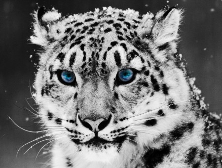 Snow Leopard Head