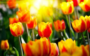 Desktop Wallpaper: Lighten Tulips