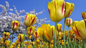 Desktop Wallpaper: Flowerbed of Tulips