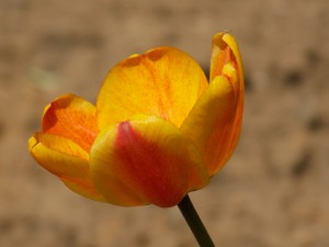 Desktop Wallpaper: Yellow Tulip