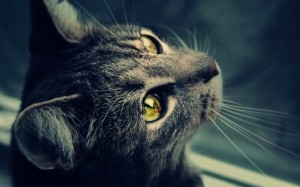 Desktop Wallpaper: Gray Tabby Cat