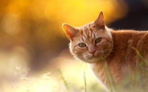 Desktop Wallpaper: Orange Tabby Cat