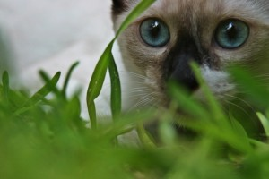 Desktop Wallpaper: Siamese Cat