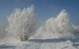 Desktop Wallpaper: Snow Covered Trees