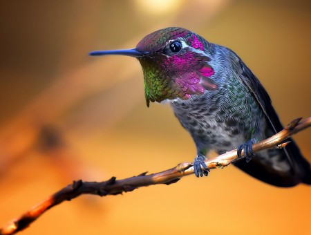 Blue Pink And Green Humming Bird