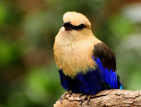 Brown Blue And Black Bird
