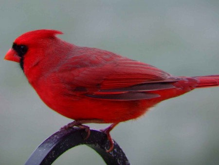 Red Robin Bird