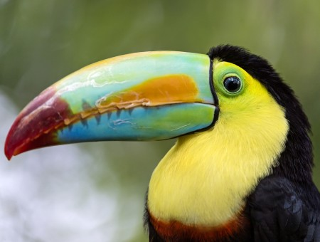 Black And Yellow Toucan