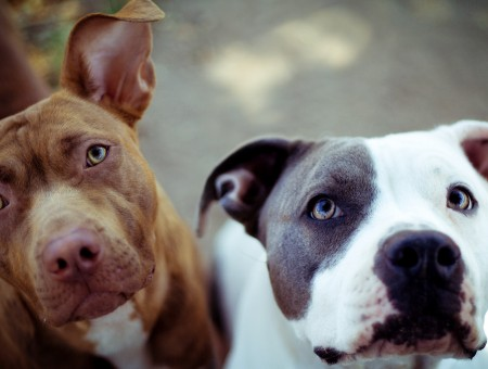 Tan And White American Staffordshire Terrier