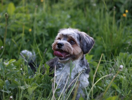 White Brown And Black Shih Tzu