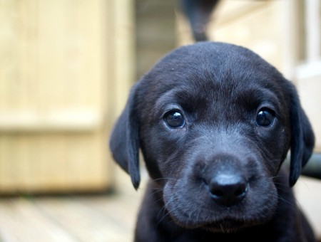 Black Short Coat Puppy