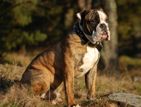 Brindle American Bulldog Wallpapers Every Day