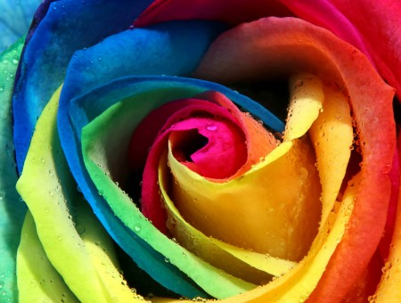 Yellow Pink Blue And Green Rose Flower