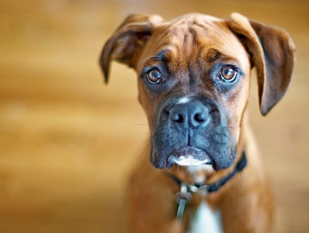 Brown And Black Boxer