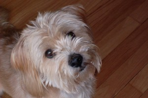 Pictures of long haired terrier breeds