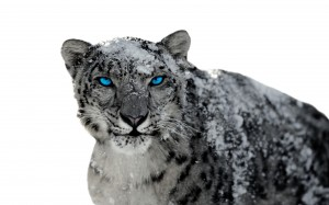 Desktop Wallpaper: Snow Leopard