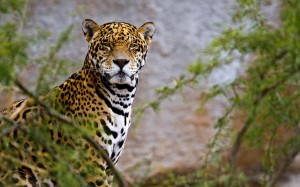 Desktop Wallpaper: Leopard Animal